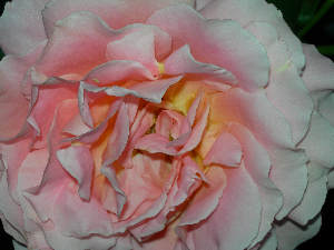peach1rose5394